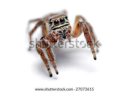 small jumping spider on a white background - stock photo