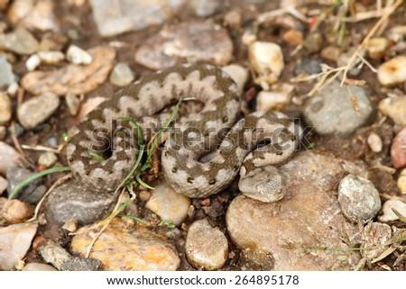 small juvenile vipera  ammodytes on the ground ( European nose horned viper ) - stock photo