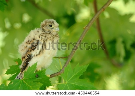 Small Kestrel photographed in your natural environment .