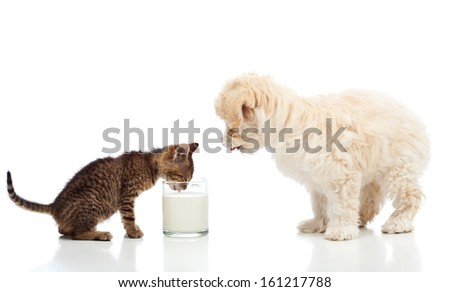 Small kitten and dog craving the same milk - isolated - stock photo