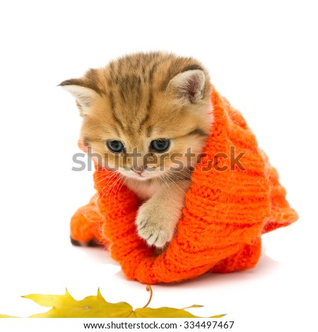 Small kitten in a knitted sweater and dry leaves, the British breed, red marble color. The age of one month. Isolated on white