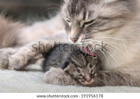 small kitten with mother close up - stock photo