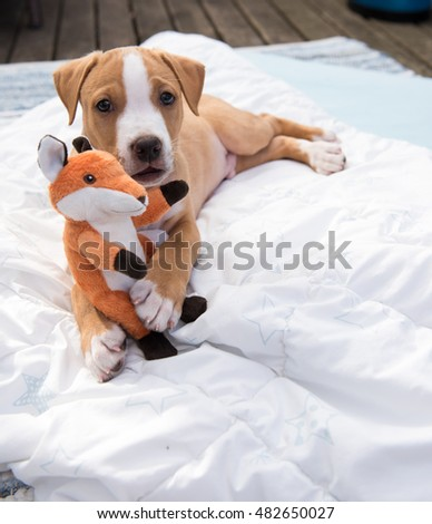 Small Labrador Mix Puppy Playing Outside with Fox Toy