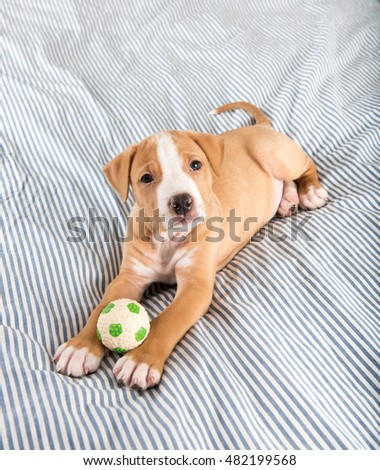 Small Labrador Mixed Puppy Laying on Striped Blanket with Soccer Ball Toy