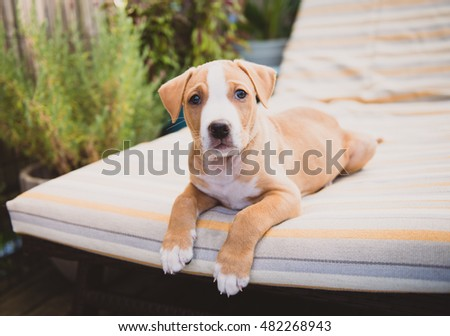 Small Labrador Mixed Puppy Relaxing Outside on Nice Summer Day