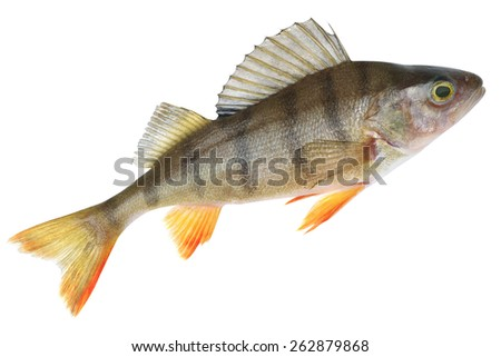 Small lake form of European perch. Place fishing stated in geotagging file - stock photo