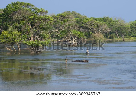 Small lake with lying in the middle of wild Asian buffalo. Yala National Park, Sri Lanka