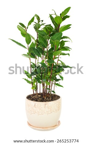 Small laurel tree in flower pot isolated on white background. Closeup. - stock photo