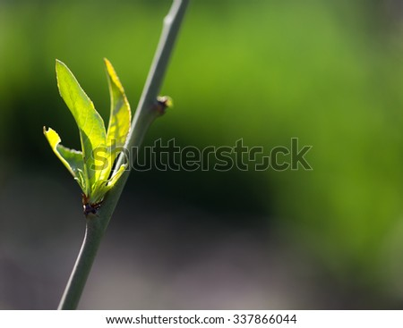 small leaves on a tree in spring. macro