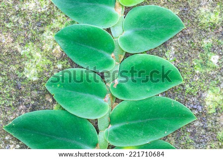 Small leaves plant climbing on the tree in forest - stock photo