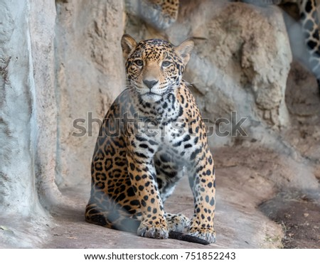 Small Leopard Looking Straight at the Camera