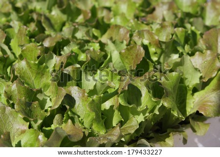 Small lettuces growing in a greenhouse