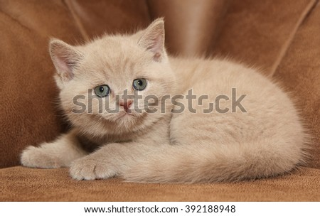 Small lilac British kitten on the couch