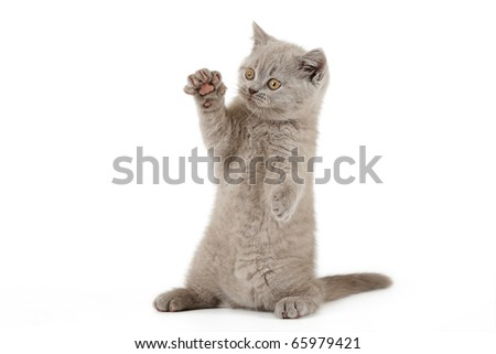 Small lilac british kitten  on white background