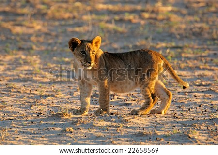 Small lion cub (Panthera leo) in early morning light, Kalahari desert, South Africa - stock photo