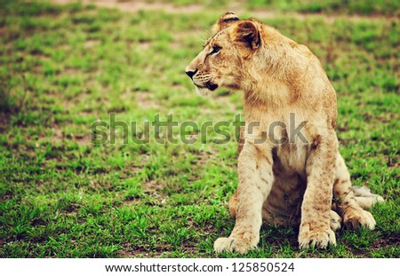 Small lion cub portrait on savanna in Africa. Safari in Serengeti, Tanzania