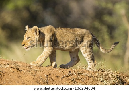 Small lion cub walking down the sandy bank South Africa - stock photo