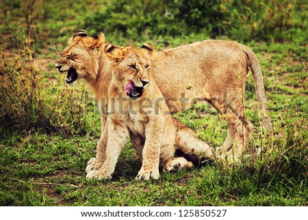 Small lion cubs playing on savanna in Africa. Safari in Serengeti, Tanzania