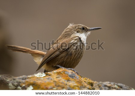 Small little brown bird standing with natural background. - stock photo
