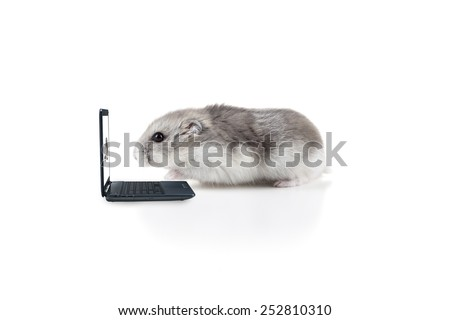 Small little hamster working on a laptop - stock photo