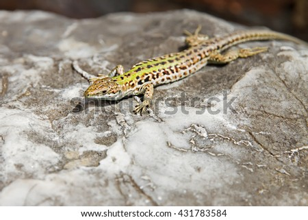 small lizard basking on a rock at solcne