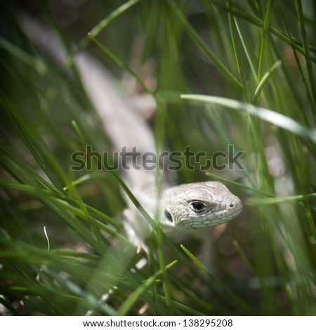 Small lizard in the green grass.