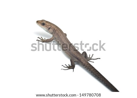 Small lizard isolated on white background
