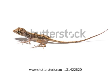 small lizard on a white background