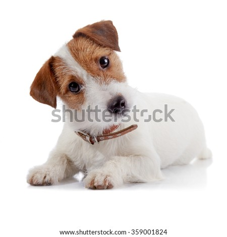 Small lovely doggie of breed a Jack Russell Terrier lies on a white background