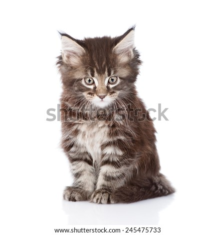 small maine coon cat looking at camera. isolated on white background