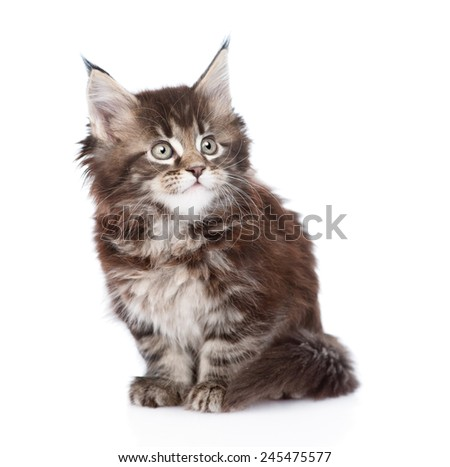 small maine coon cat sitting in front. isolated on white background