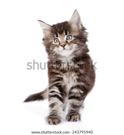 small maine coon cat standing in front. isolated on white background