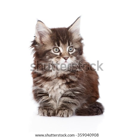 Small maine coon kitten. isolated on white background