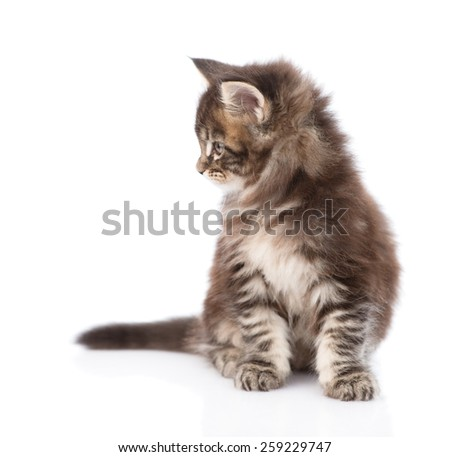 Small maine coon kitten looking away. isolated on white background