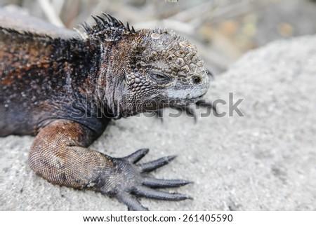 Small marine iguana walking through the rocks, Galapagos - stock photo