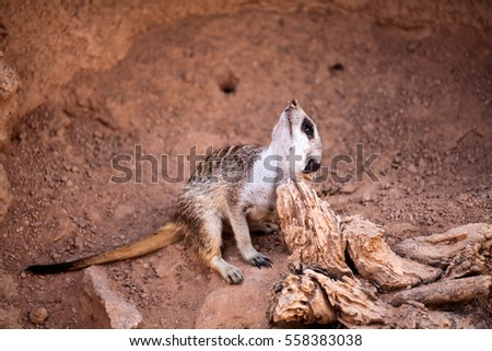Small Meerkat crouching on sand and enjoy at the zoo.