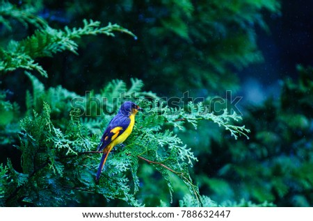 Small Minivet in nature with rain