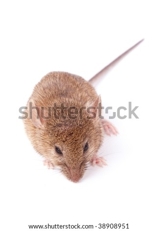 Small mouse isolated on white background - stock photo