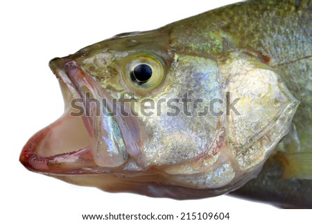 Small Mouth Bass isolated on white background