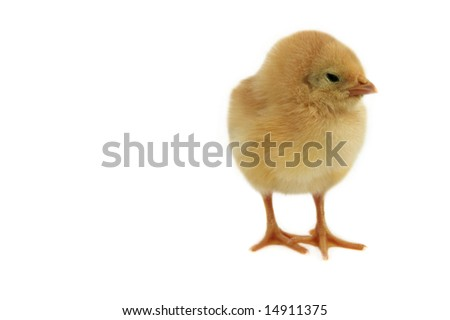 small nice chicken isolated on white