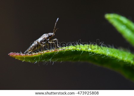 Small Nysius sp. insect resting on a leaf