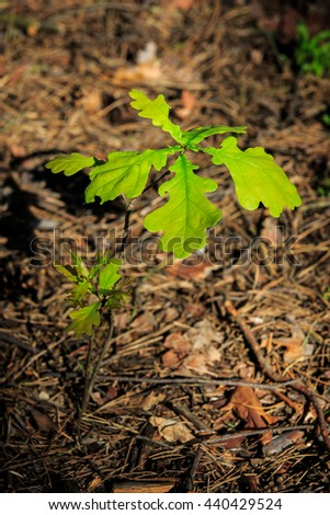 small oak tree in forest