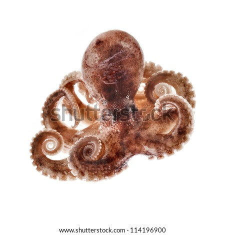 Small octopus isolated on white background - stock photo