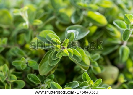 Small Oregano Plant (detailed high resolution close-up shot) - stock photo