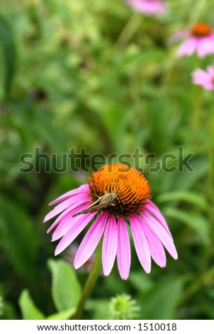 Small Painted lady Butterfly on Purple Coneflower