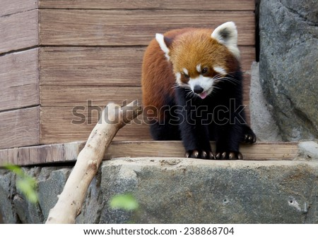 Small Panda (red Panda). Small Panda or red Panda slightly bigger than cats.on the face of the figure in the form of a mask. Leads nocturnal, daytime sleeps. Small Panda differs peaceful character.