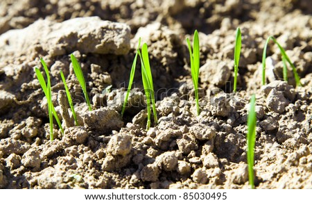 Small part of an agricultural field on which recently have sprouted new sprouts of wheat (small depth of sharpness) - stock photo