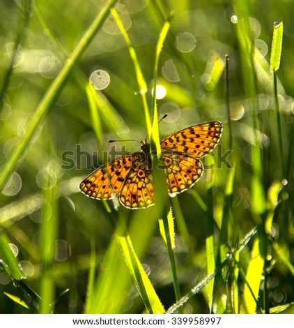 Small pearl-bordered fritillary or Silver-bordered fritillary (Boloria selene / Clossiana selene). Photo was taken in Roztochia (Ukraine, Europe).