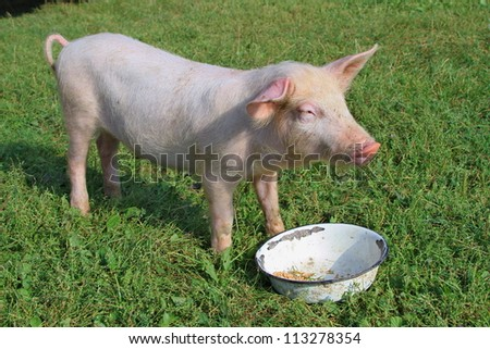Small pig on a green grass - stock photo
