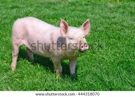 Small pig on a green grass.